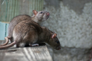 Rodent control - pest control